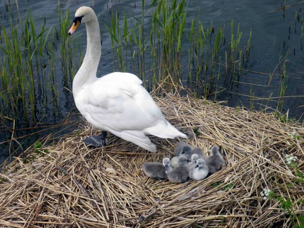 Six grey cygnets are out. One egg remains. Swans at the Lakes in Copenhagen. Photo: Lone. 2015.